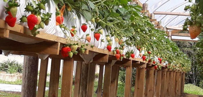 Conheça o fornecedor rastreado: MárioTheisges planta morango